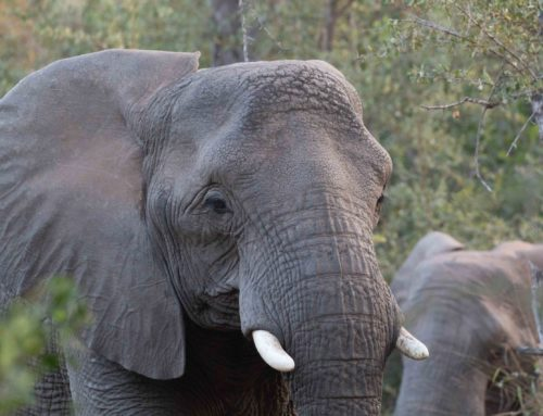 HOW TO DEAL WITH ELEPHANTS ON SAFARI