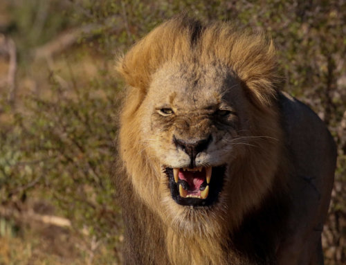 Why Male Lions Have Manes?